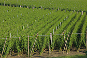Hops (Humulus lupulus) field, Purcell Trench, Boundary County, Idaho, USA