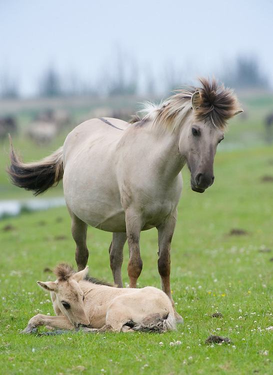 Konik horse, mare (female) standing over young foal. Oostvaardersplassen, Netherlands. Mission: Oostervaardersplassen, Netherlands, June 2009.
