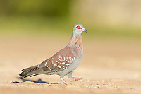 Speckled Pigeon walking on the ground, De Hoop Nature Reserve, Western Cape, South Africa