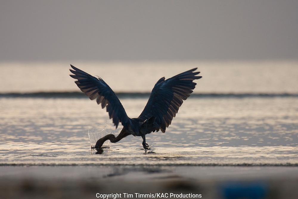 Reddish Egret, Egretta rufescens, Bolivar Flats, Texas gulf coast, silhouette at sunrise, splashing water