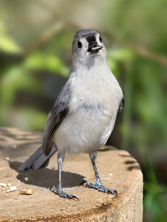Tufted Titmouse Caught With His Beak In The Cookie Jar, Parus bicolor With Sunflower Seed In His Beak