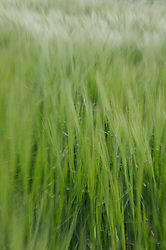 Wheat grass blows in the breeze in the Palouse area, Washington.