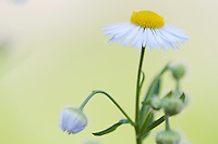 Fleabane (Erigeron spec.), flowering at the Mayor's House of Pont-du-Chateau, Auvergne, France.