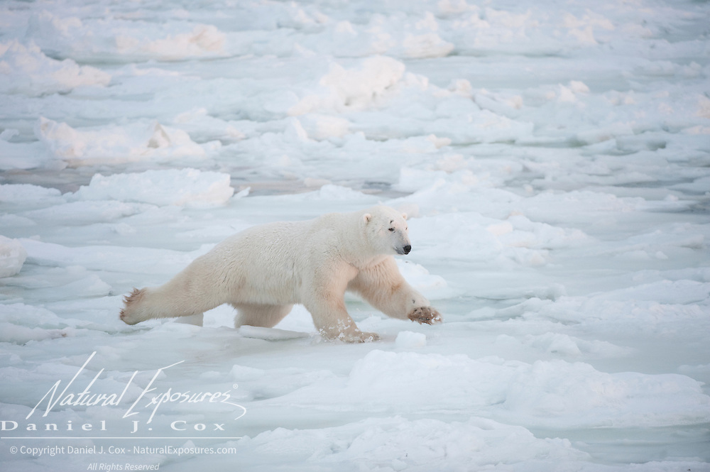 A polar bear tests the newly formed ice off of Cape Churchill, Manitoba, Canada.