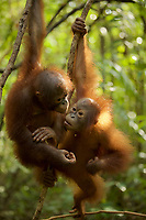 Juvenile orangutans climbing vines in a patch of forest where they are learning skills for the wild <br /><br /><br />International Animal Rescue (IAR)<br />Ketapang<br />West Kalimantan Province<br />Island of Borneo<br />Indonesia