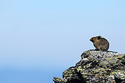 Pika on a talus slope in the Mount Robinson Roadless Area in summer. Kootenai National Forest in the Purcell Mountains, northwest Montana.