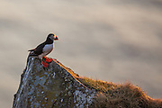 Lundefugl ser utover havet i Lundeura på Runde | Puffin looks out to the sea at Lundeura, Runde, Norway.
