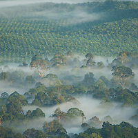 Mist enveloping the rainforest, with palm oil plantation in the background, Gunung Silam, Sabah, Malaysia, Borneo, South East Asia.