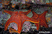 panamic cushion stars, Pentaceraster cumingi, Galapagos Islands, Ecuador,  ( Eastern Pacific )