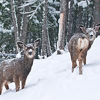 two twin mule deer fawns feeding in deep snow