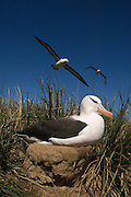 Black-browed Albatross (Thalassarche melanophrys)<br /> Steeple Jason Island. FALKLAND ISLANDS.<br /> They return to the same nest annually. The nest is a a solid pillar up to 50cm high of mud and guano with some grass and seaweed incorporated. A single egg is laid in October and juveniles fledge between mid March and April. They have a circumpolar range betweeen 65 S and 20 south and breed on Subantarctic Islands, Including South Georgia and islands off southern South America. In the Falklands they are also found on Beauchene, Saunders, West Point and New Island.<br /> The Jasons (Grand, Elephant and Steeple) are a chain of islands 40 miles (64km) north and west off West Falkland towards Patagonia. Steeple is 6 by 1 mile (10Km by 1.6km) in size. From the coast the land rises steeply to a rocky ridge running along the length. <br /> THIS ISLAND HAS THE LARGEST BLACK-BROWED COLONY IN THE WORLD WITH 100,000+ PAIRS. The island is owned by WCS (Wildlife Conservation Society) Falklands Conservation have an ongoing research project with the Albatross on Steeple Jason.<br /> LISTED AS ENDANGERED