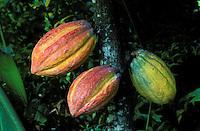 France, Département d'Outre mer de la Guadeloupe (DOM), Basse Terre, Pointe Noir, La maison du Cacao, Cabosse, fruit du Cacaoyer