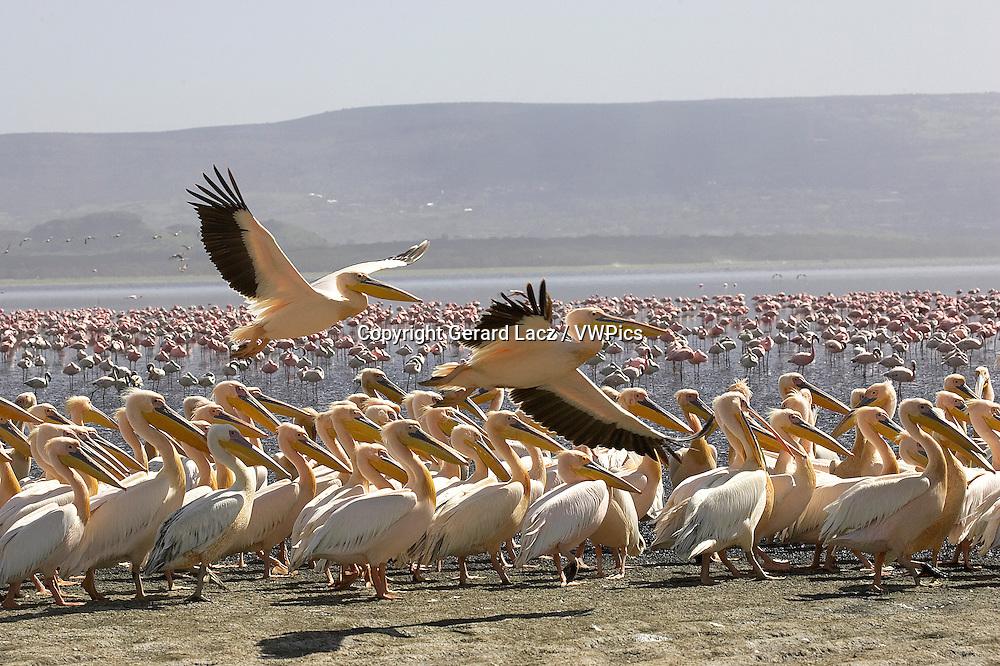 Great White Pelican, pelecanus onocrotalus, Pair in Flight, Colony at Nakuru Lake in Kenya