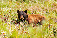 A cinnamon colored black bear in the Many Glacier region of Glacier National Park<br /> <br /> &copy;2016, Sean Phillips<br /> http://www.RiverwoodPhotography.com