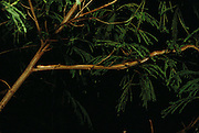 A brown tree snake on the branch of a tree in the U.S. Territory of Guam, an island in the Western Pacific Ocean, the largest of the Mariana Islands.  There are no birds on the Pacific Island of Guam thanks to the Brown Tree Snake. These hungry egg-eating snakes have overrun the tropical island after arriving on a lumber freighter from New Guinea during World War II. Besides wiping out the bird population, Brown Tree Snakes cause frequent power outages: they commit short circuit suicide when climbing between power lines.