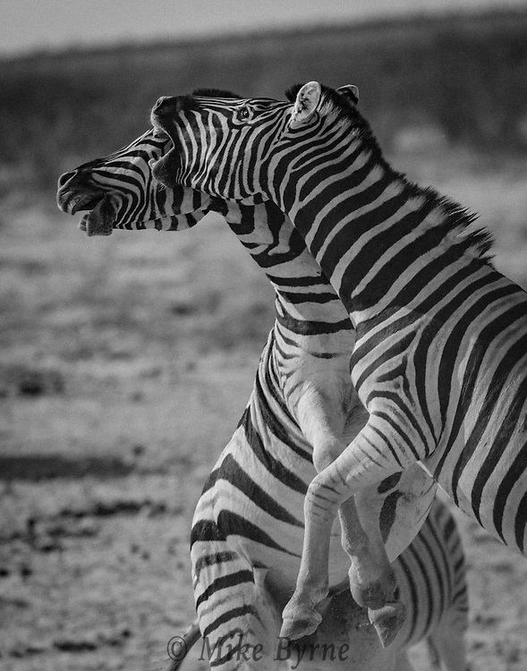 Two Burchell's zebra sparring at a waterhole in Etosha National Park.