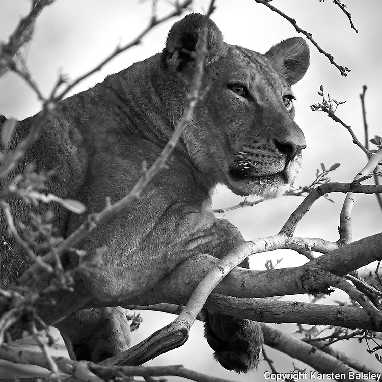 &ldquo;Lion Daydreams&rdquo;                                              Zimbabwe<br />