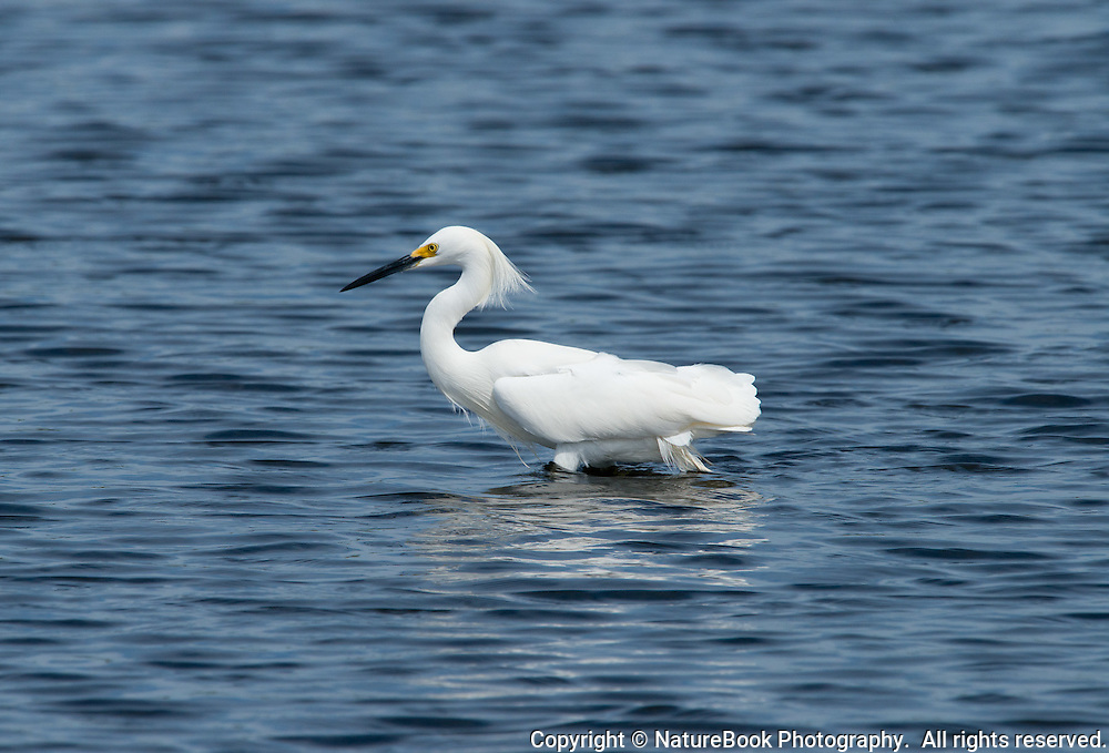 A White Egret, looking for a meal, walks in stark contrast to the blue water at Merritt Island National Wildlife Refuge, adjacent to the Kennedy Space Center in Florida.