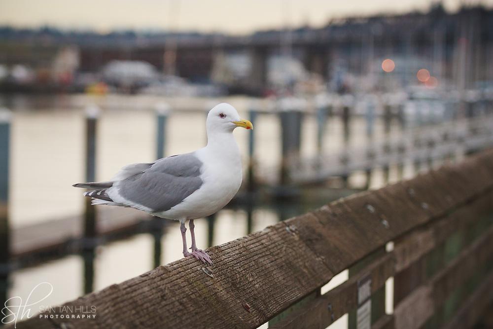 Foss Waterway seagull - Tacoma, WA