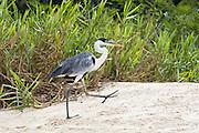 Cocoi Heron<br /> Ardea cocoi<br /> Cuiaba River, Pantanal, Brazil