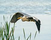 Fauna - Birds : Waders & Heron