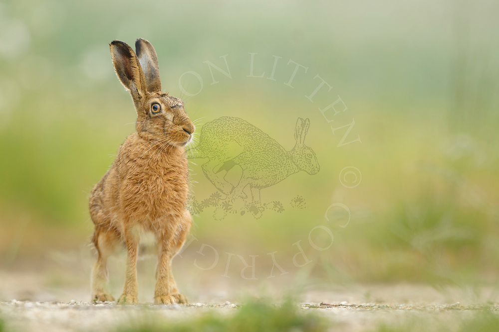 European Hare (Lepus europaeus) adult at rest on farm track, South Norfolk, UK. May.