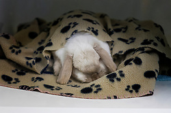 Sedated rabbit in the recovery area at Rushcliffe Veterinary Surgery, Nottingham, UK.