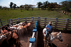 Dec. 14, 2011 - Yopal, Colombia. A llaneros (cowboy) herds cattle into a holding yard. © Nicolas Axelrod / Ruom