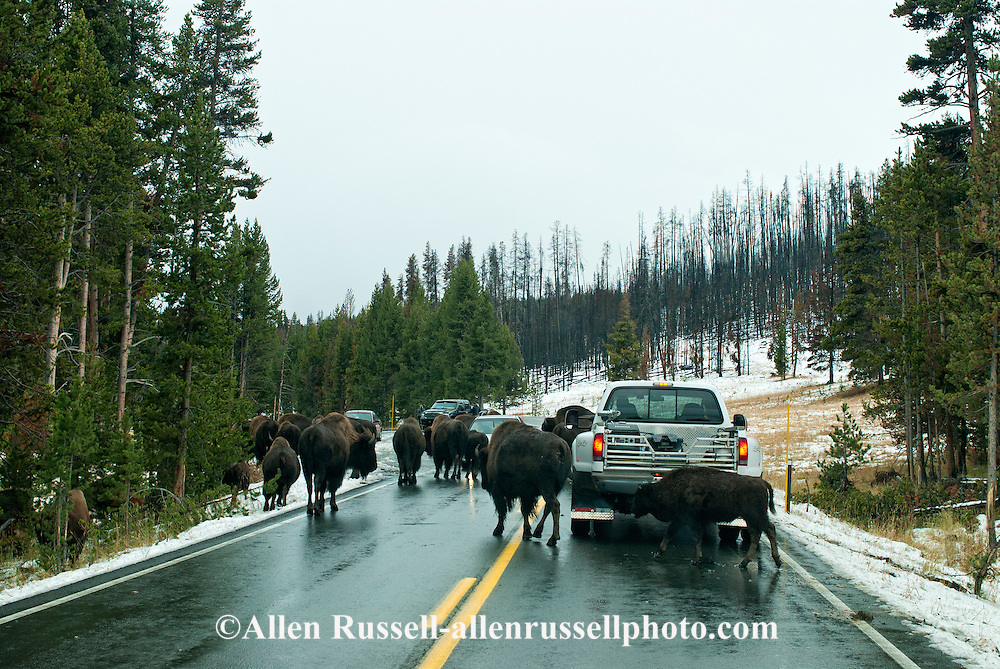 Traffic jam caused by Bison in Yellowstone National Park