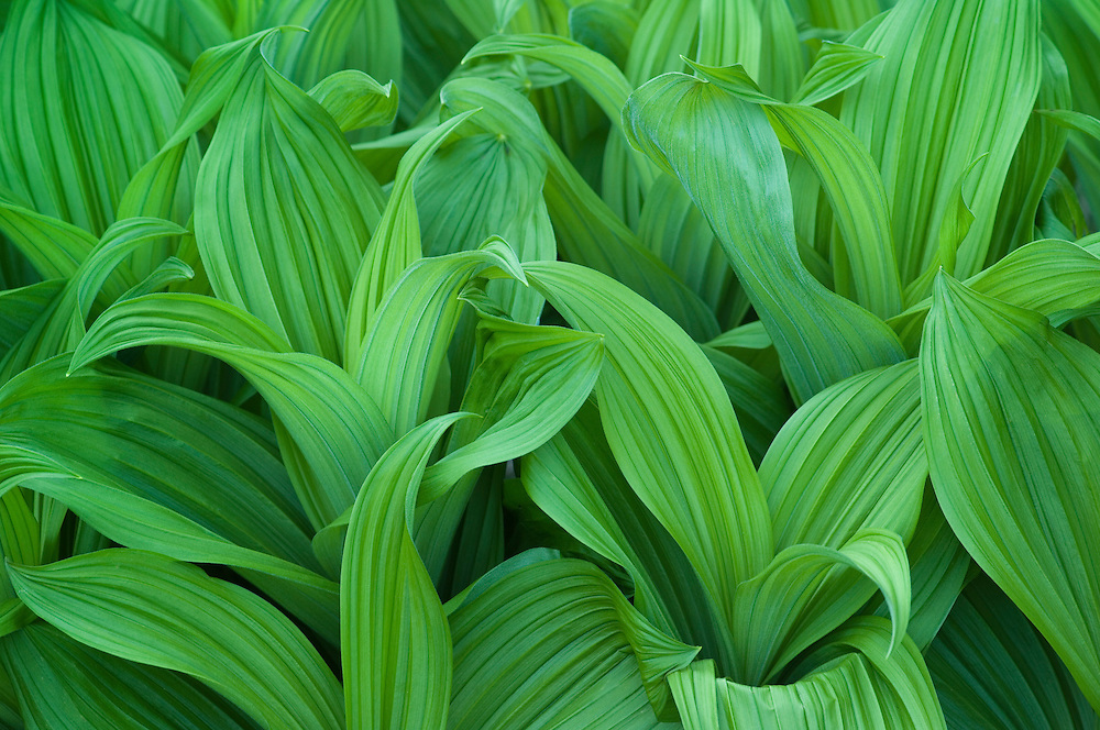 Corn lilies (also known as False Hellebore), Glacier National Park, Montana.