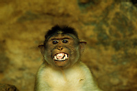 Expression of a tipical indian monkey in the southern state of  Tamil Nadu. India 1994
