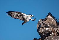 Osprey landing near it's nest on Isla Rasa in Baja California Sur, Mexico.