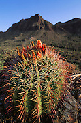 Barrel Cactus at Gates Pass near Tucson, Arizona, USA.
