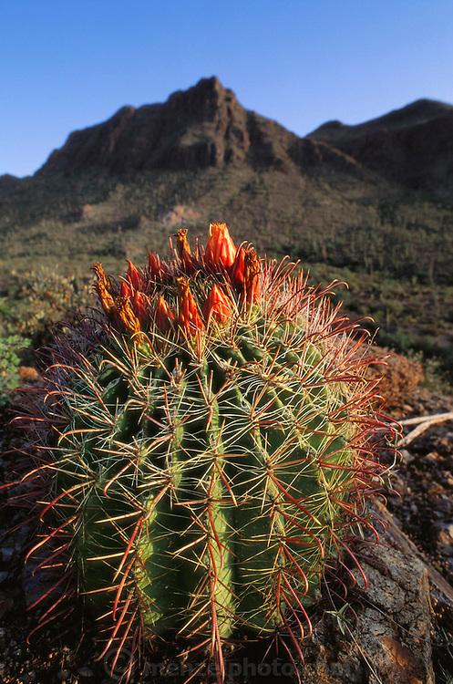 Barrel Cactus at Gates Pass near Tucson, Arizona, USA.