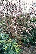 Winter flowering Viburnum x bodnantense with Mahonia cv