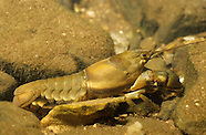 Ringed Crayfish, Underwater