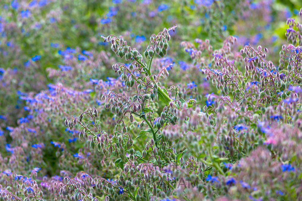 Blue Borage, Borago officinalis, in organic vegetable garden in Oxfordshire UK