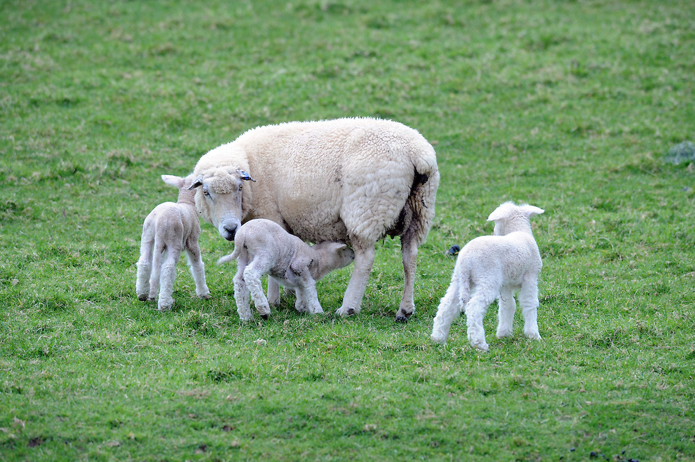 Sheep, ewe and lambs, Kimbolton, New Zealand, Monday, August 27, 2012. Credit:SNPA / Ross Setford