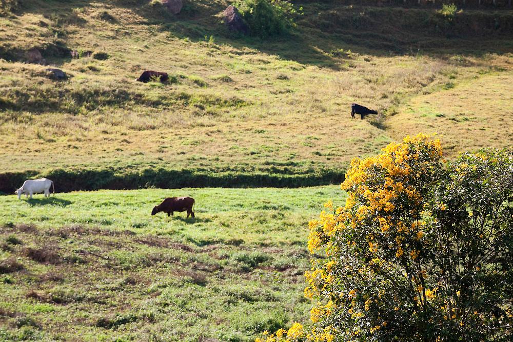 Pedra Bonita_Brasil...Gado pastando em Pedra Bonita, Minas Gerais...A cattle grazing in Pedra Bonita, Minas Gerais...Foto: LEO DRUMOND / NITRO