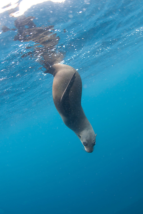 Underwater image of a young Cape fur seal (Arctocephalus pusillus) in sea near Seal Island, Nelson Mandela Bay (formally Algoa Bay).