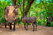 The warthog or common warthog is a wild member of the pig family found in grassland, savanna, and woodland in sub-Saharan Africa.