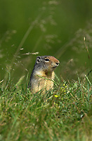 Columbian Ground Squirrel (Spermophilus elegans), Kananaskis recreation area, Alberta, Canada                          Photo: Peter Llewellyn