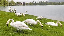 THEMENBILD - mehrere Höckerschwäne auf einer Wiese an einem verregneten Tag auf einer Badewiese, aufgenommen am 23. Mai 2015 am Zeller See, Zell am See, Österreich // a few Mute Swans on a rainy Day on a sunbathing lawn at the Lake Zell, Zell am See, Austria on 2015/05/23. EXPA Pictures © 2015, PhotoCredit: EXPA/ JFK