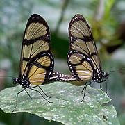 Mating butterflies, Los Amigos Conservation Concession run by the Amazon Conservation Association and the Asociación para la Conservación de la Cuenca Amazónica. The concession is on the Rio Madre de Dios and the Rio Los Amigos. It protects lowland rainforest in the Los Amigos - Tambopata Conservation Corridor and has a biological research station called CICRA.