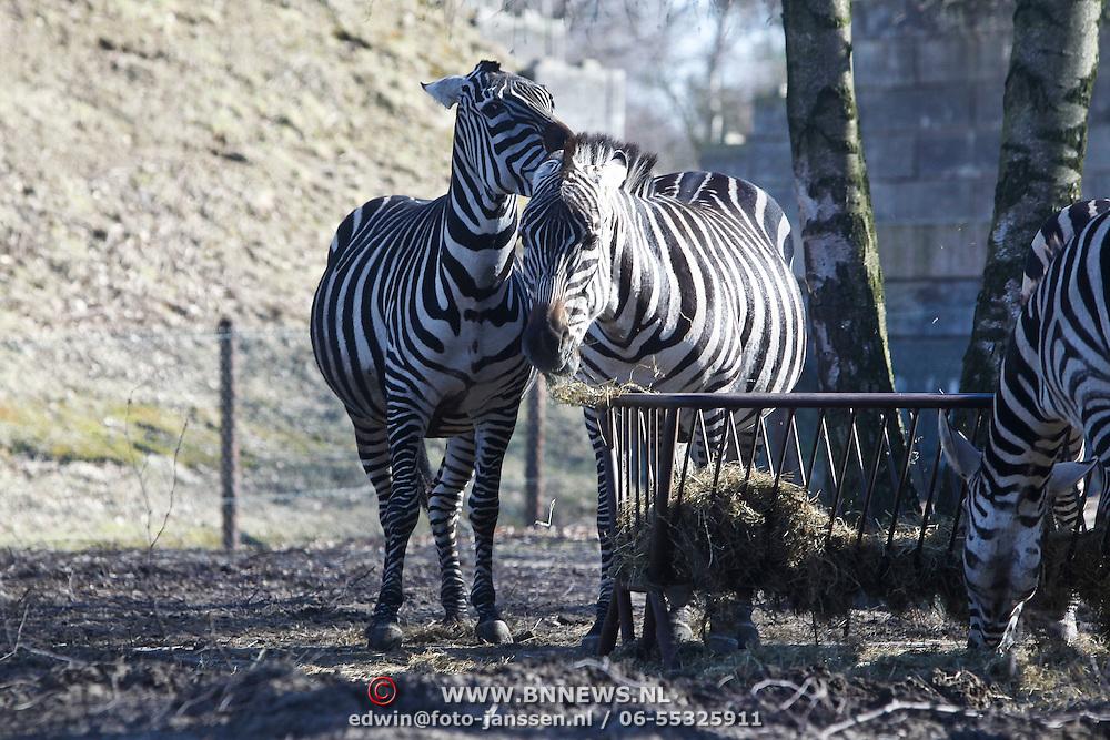 NLD/Beekse Bergen/20100307 - Beekse Bergen, Zebra