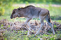 Blue wildebeest calf, Marataba Private Game Reserve, Limpopo, South Africa