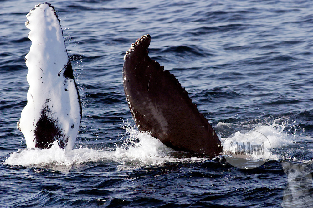 09/02/03 - Stellwagen Banks - Cape Cod , Massachusetts, A humpback whale, breaches its flippers.<br /> <br /> <br /> JACK HOWARD PHOTOGRAPH