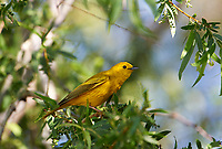 American Yellow Warbler (Dendroica petechia) preched in a tree, Jocotopec, Jalisco, Mexico