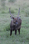 Kenya, Lake Nakuru National Park, Waterbuck (Kobus ellipsiprymnus) front view