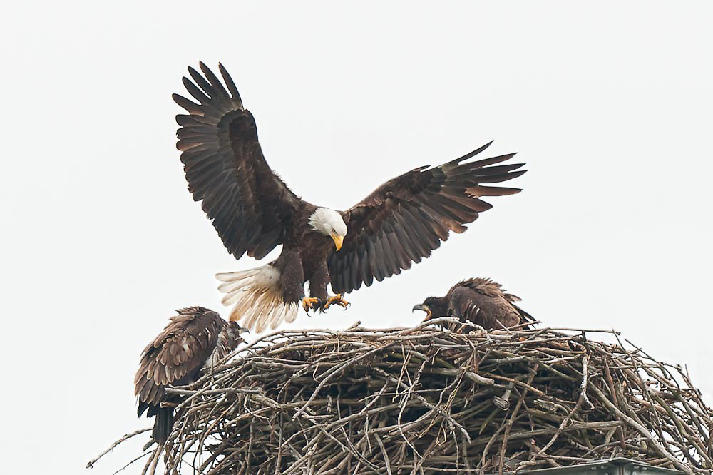 A perfect photograph of the Eagle's return to the nest